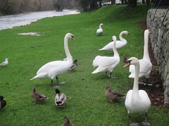 Swans & Ducks Lifey Linear Park, Newbridge